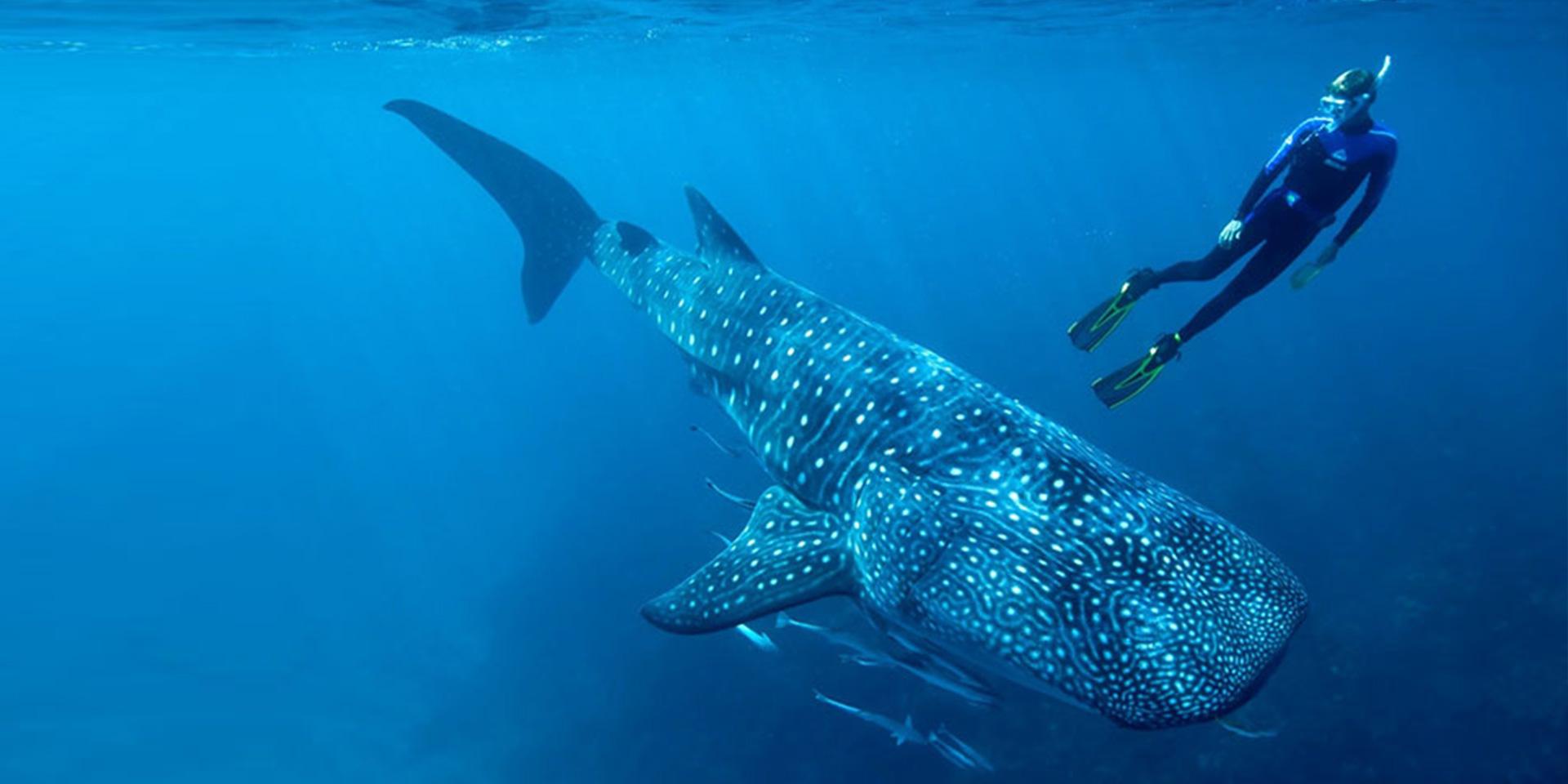 tiburon ballena baja california