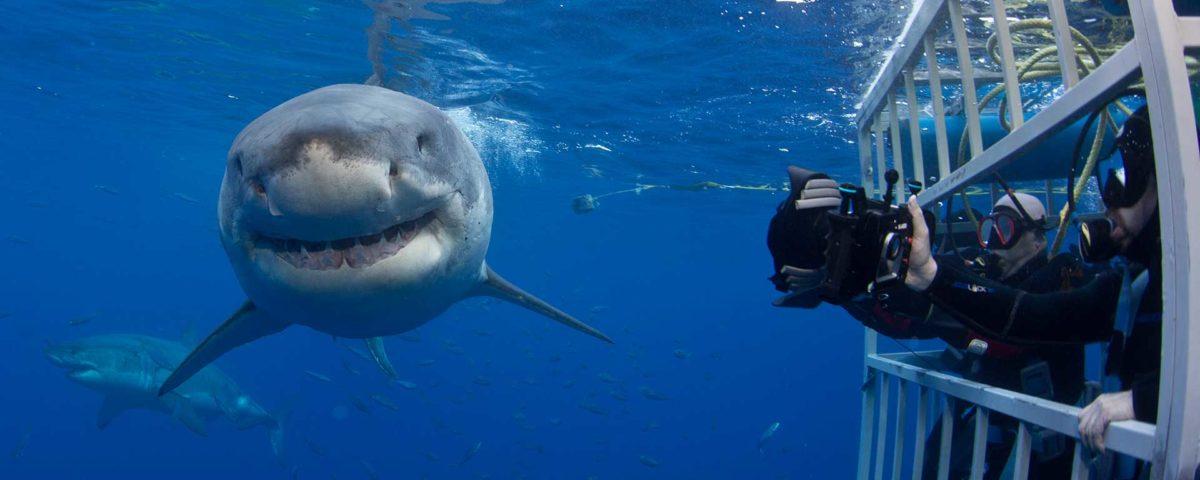 tiburon blanco baja california